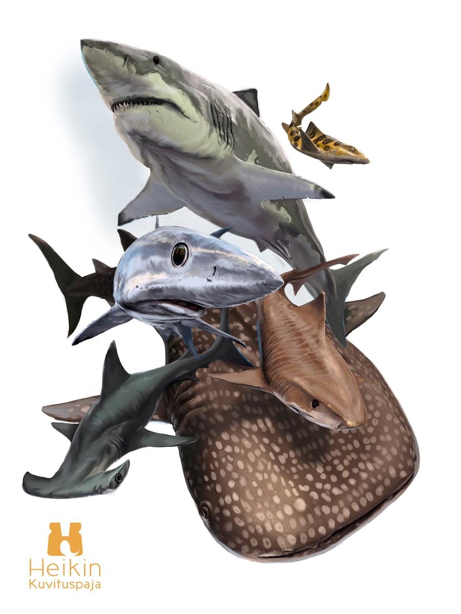 Kuvitus, jossa valkohai, valashai, sinihai, tiikerihai, vasarahai ja pieni hai.